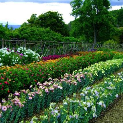Выращивание эустомы в саду