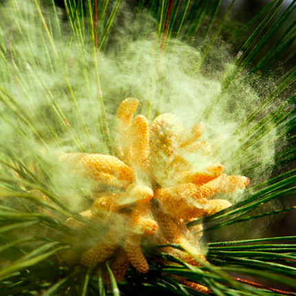 Состав сосновой пыльцы