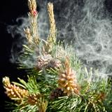 Сосновая пыльца: применение, польза и противопоказания
