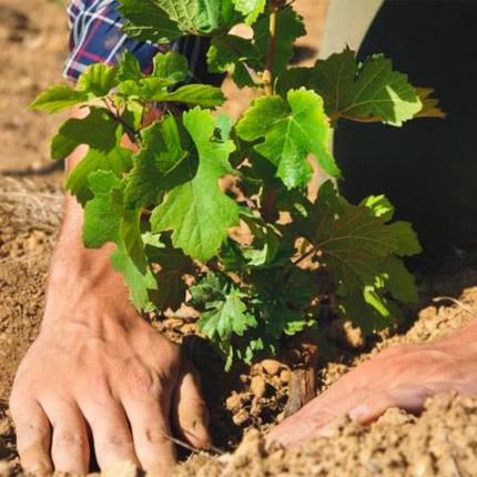 Зачем нужна пересадка винограда