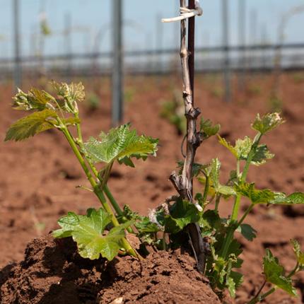 Способы пересадки винограда
