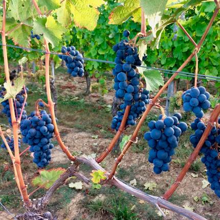 Возраст винограда