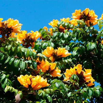 Описание тюльпанового дерева