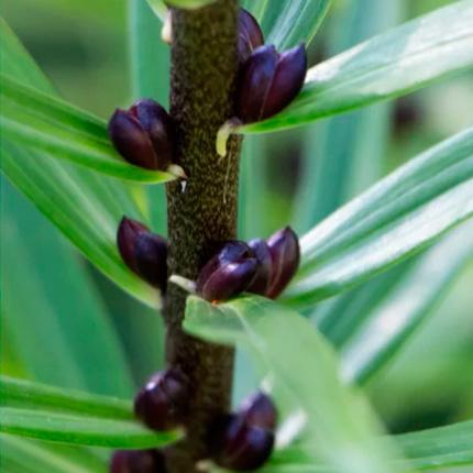 Размножение из стеблевых бульбочек