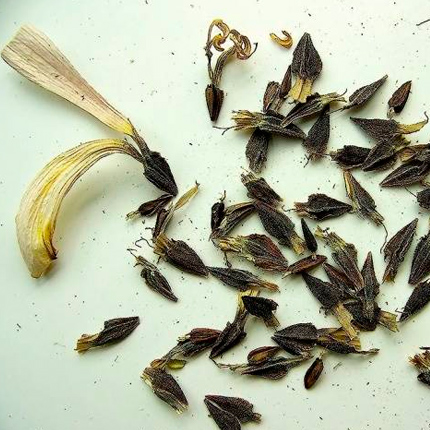 Посев семян цинии