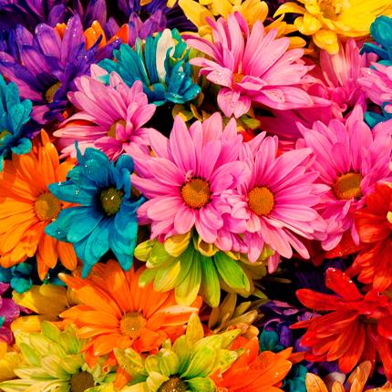 Ромашки разных цветов