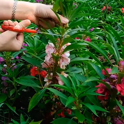 Уход за садовым бальзамином