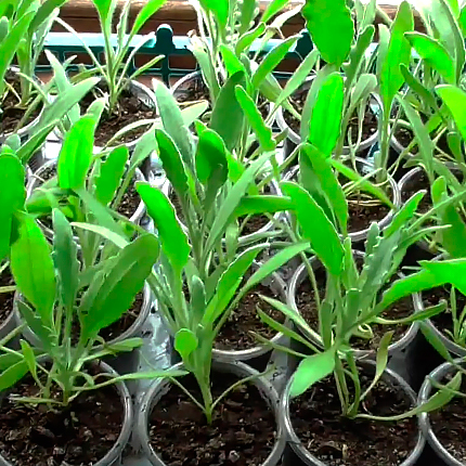 Выращивание рассадой