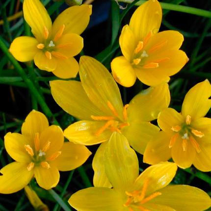 Зефирантес желтый