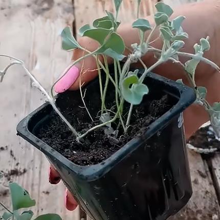 Выращивание дихондры