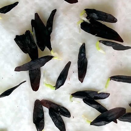 Выращивание семенами