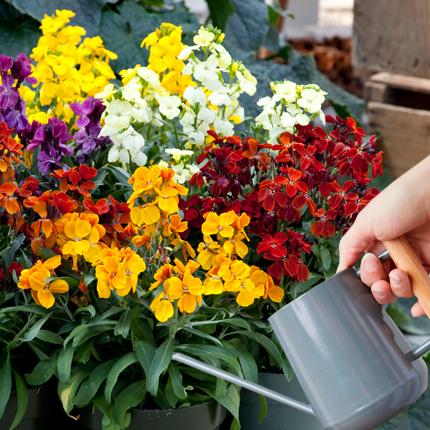 Уход за цветами лакфиоли