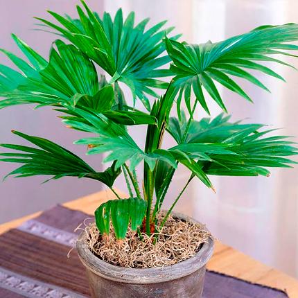 Особенности пальмы ливистона
