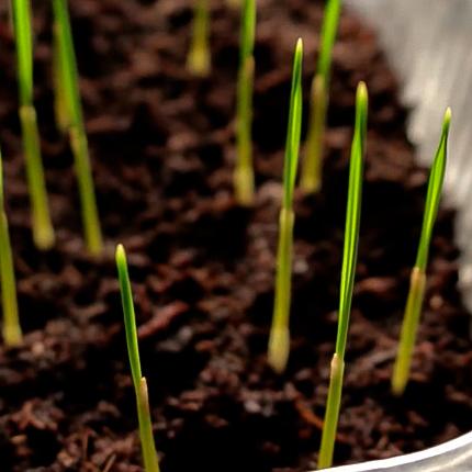 Выращивание пальмы ливистона