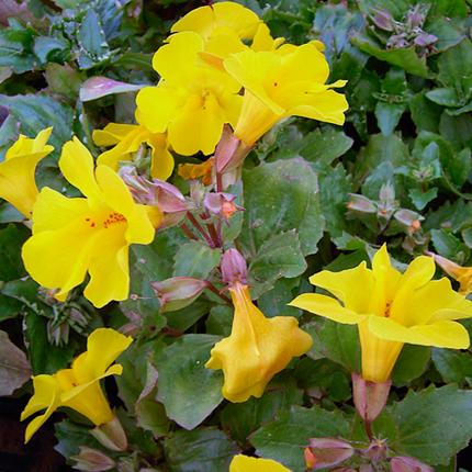 Мимулюс желтый