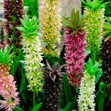 Эукомис: выращивание и уход в открытом грунте