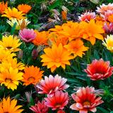 Гацания: выращивание и уход за цветком