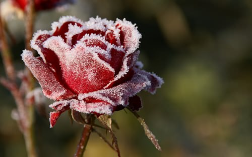 роза зимой