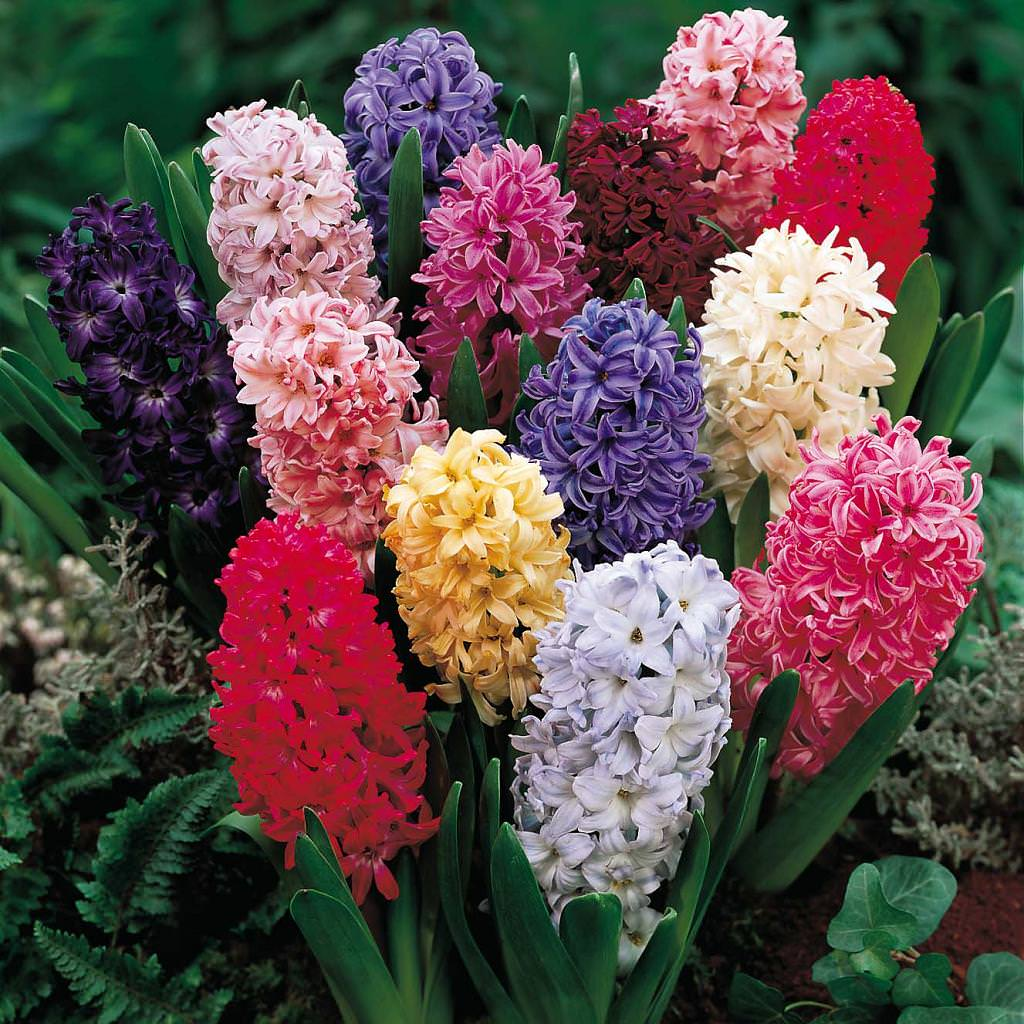 цветы мира гиацинт