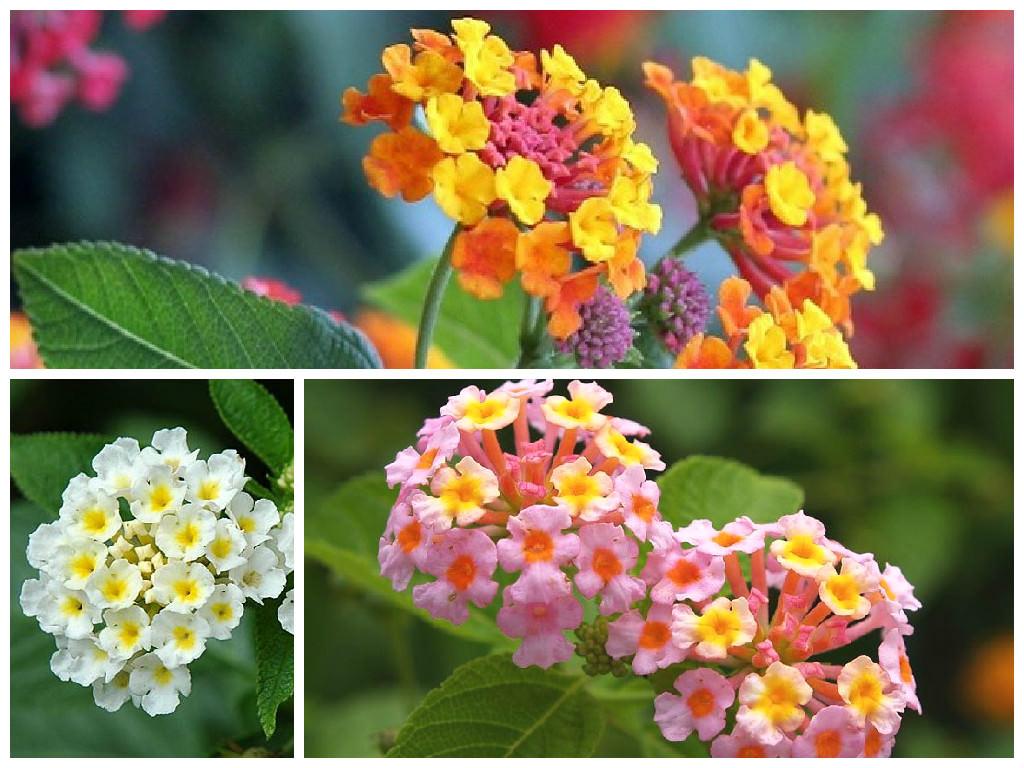 цветы мира лантана