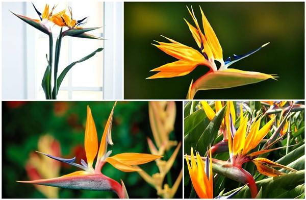 цветы мира стрелиция