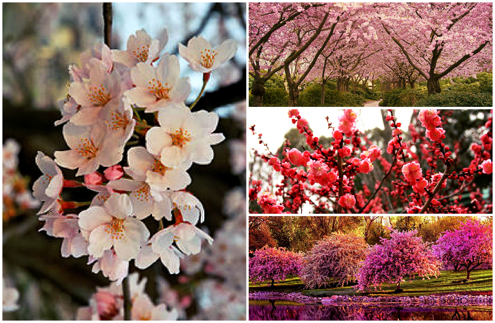цветы мира сакура