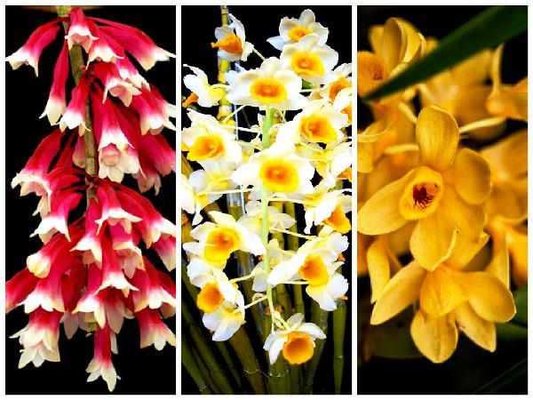 цветы мира дендробиум