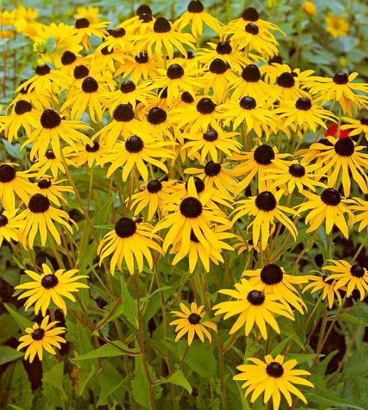 цветы мира рудбекия