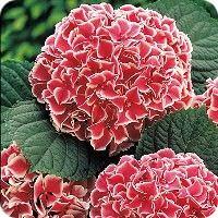 цветы мира гортензия