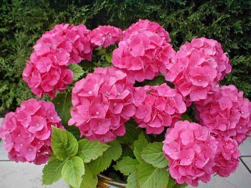 Комнатные цветы для Весов