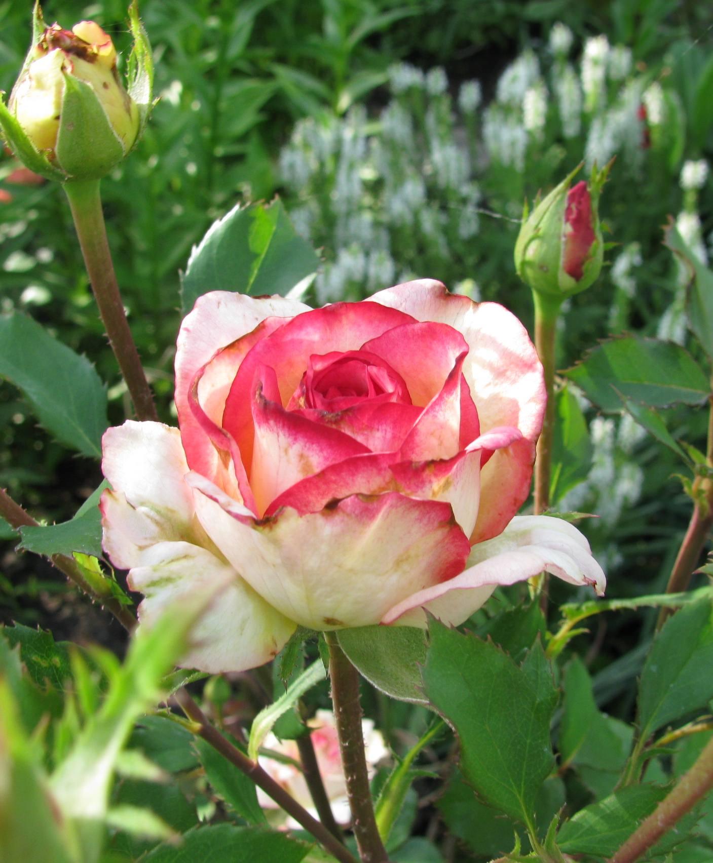 Роза в США