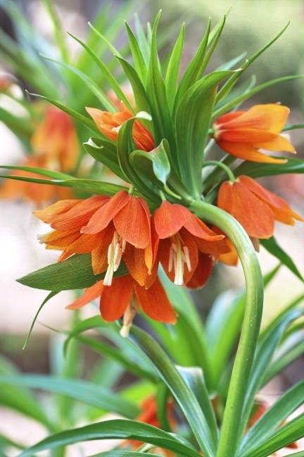 цветок айгуль