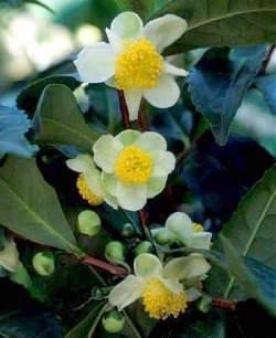 цветущий чай в Грузии