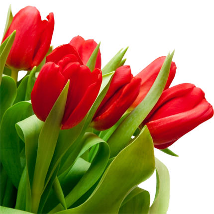 51 red tulip - order with delivery
