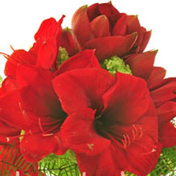 Bouquet of amaryllis - delivery in Ukraine