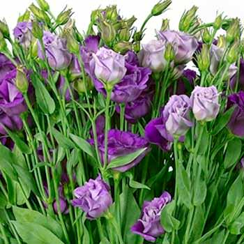 "Bouquet of eustoma ""Mirage"" - delivery in Ukraine"