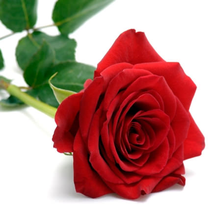 501 красная роза - заказать с доставкой