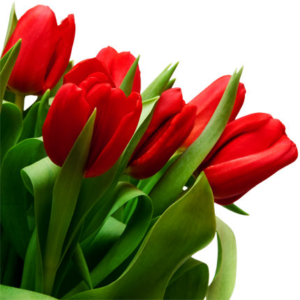 Тюльпан красный (поштучно) - доставка по Украине