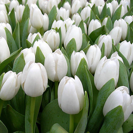 White tulip (by an item) - delivery in Ukraine