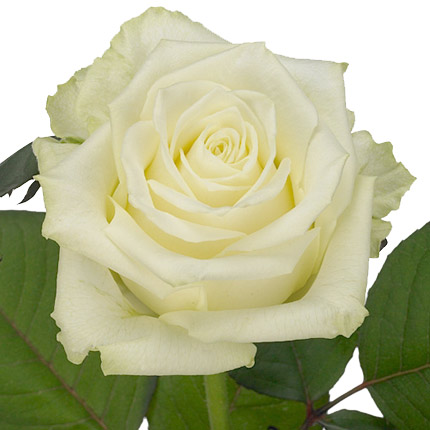 Bouquet of white roses - order with delivery