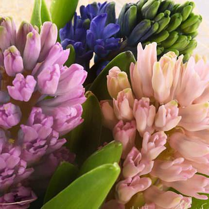 15 multicolored hyacinths - delivery in Ukraine