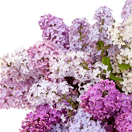 25 branches of fragrant lilacs - delivery in Ukraine