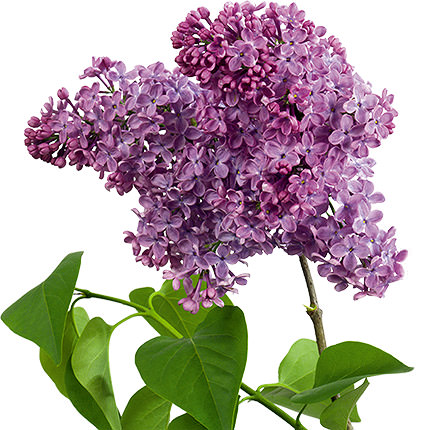 25 branches of fragrant lilacs - order with delivery