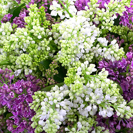 51 branch of lilac - order with delivery