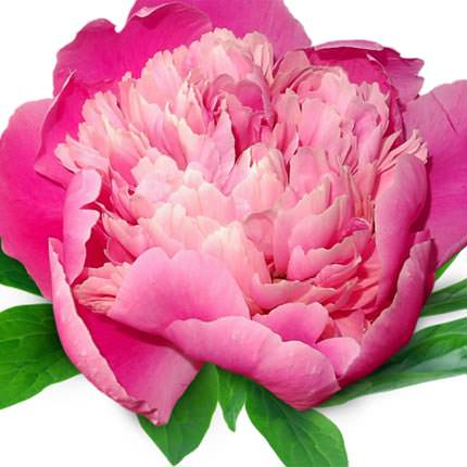 101 multicolored peony - order with delivery