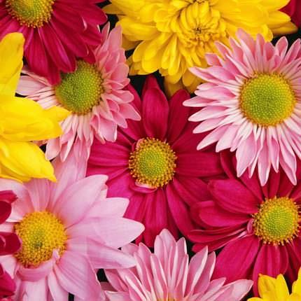 Хризантема микс (поштучно) - доставка по Украине