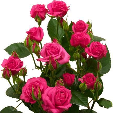 Роза кустовая микс (поштучно) - доставка по Украине