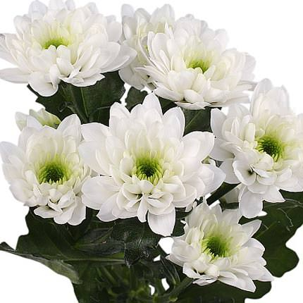 51 white chrysanthemums - order with delivery
