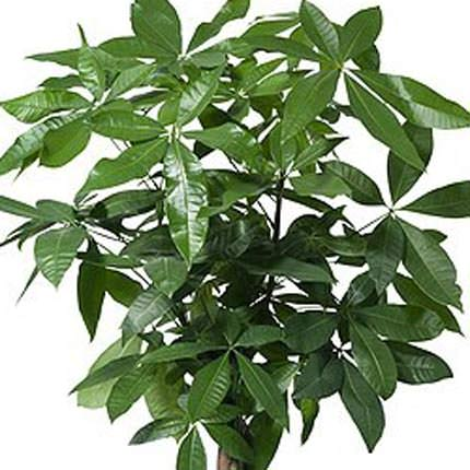 """Комнатное растение """"Пахира водная"""" (штамбовая) - заказать с доставкой"""