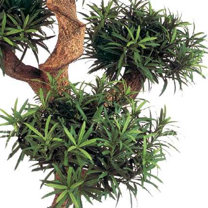 "Houseplant ""Podocarpus"" macrophylla (sectional) - delivery in Ukraine"